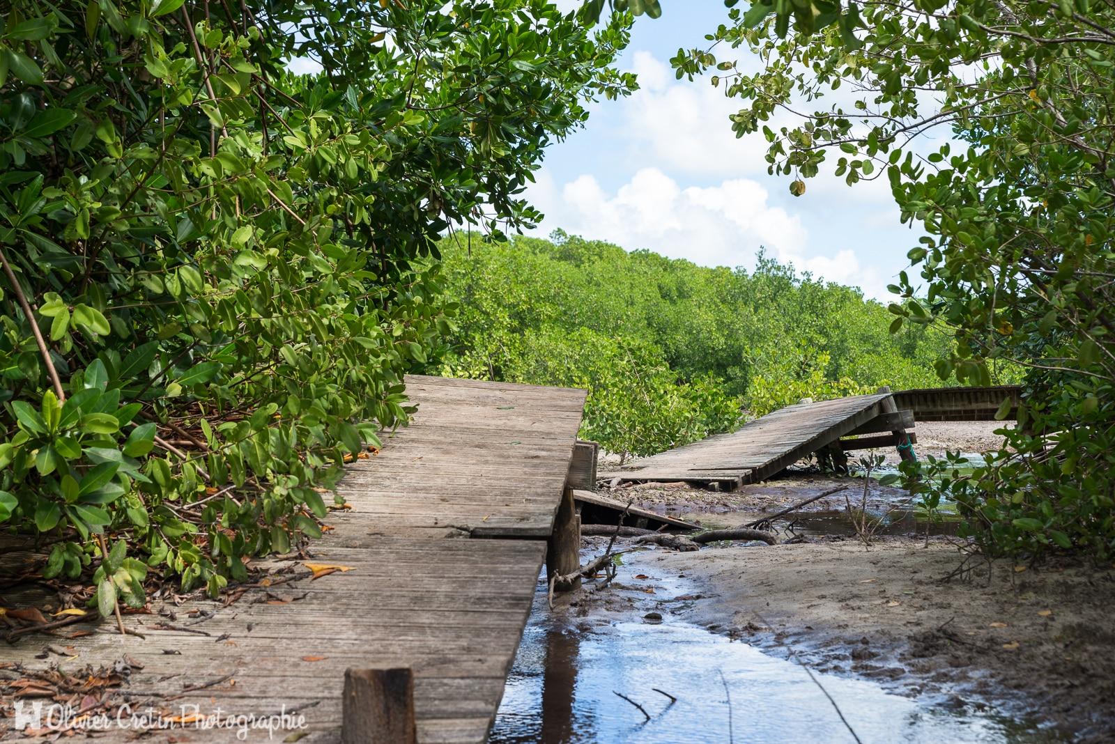 Guadeloupe - Sainte Anne - Parcours d'obstacle cyclonique dans la mangrove